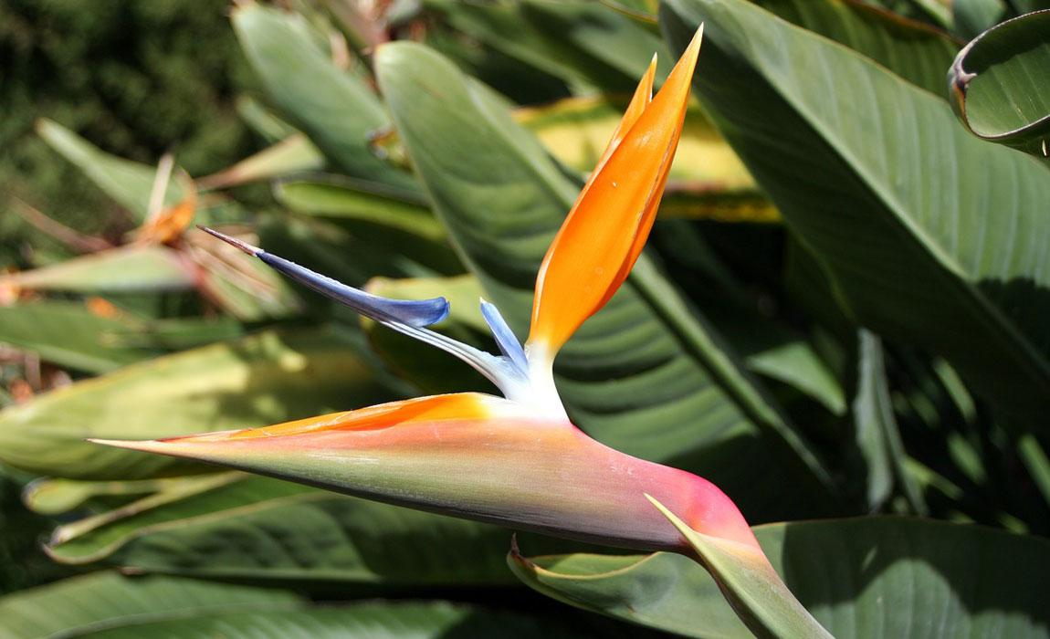 Strelitzia reginae, el Ave del Paraiso