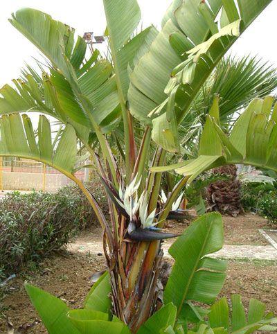 Planta de Strelitzia augusta en jardín