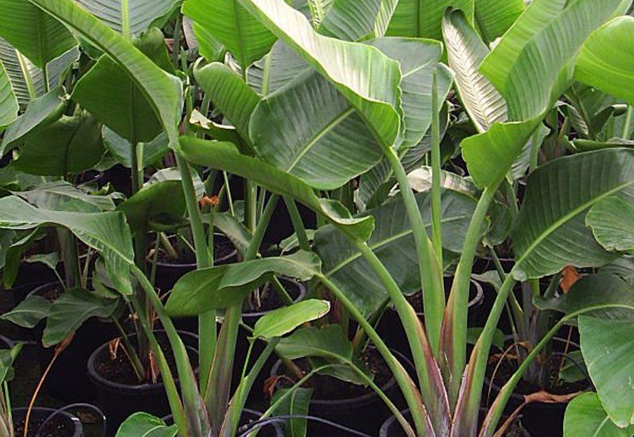 Plantas de Strelitzia augusta