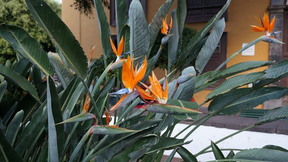 Strelizia reginae en jardín