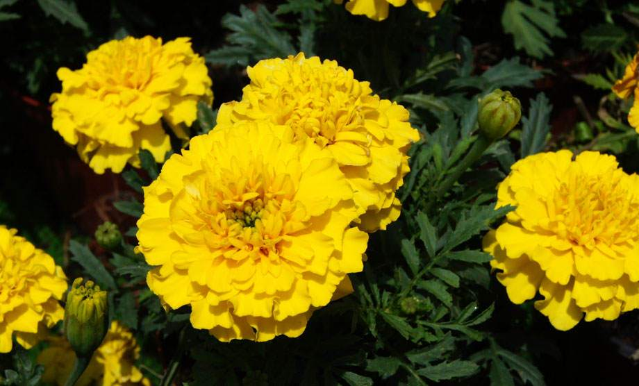 Flores de Tagetes amarillos