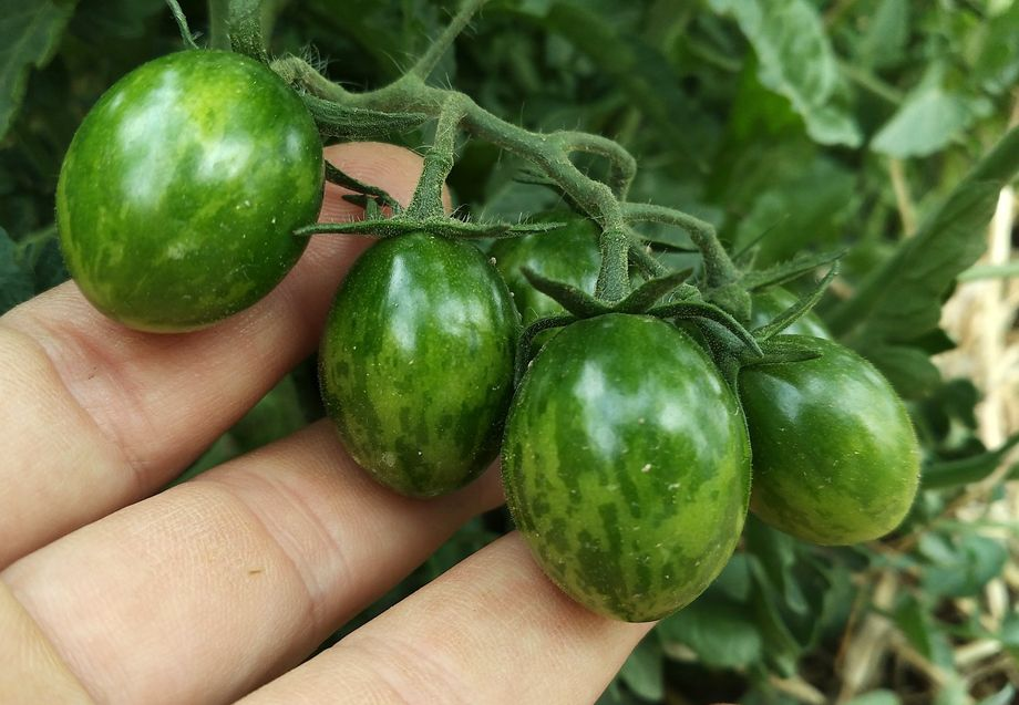 Tomates tipo cherry