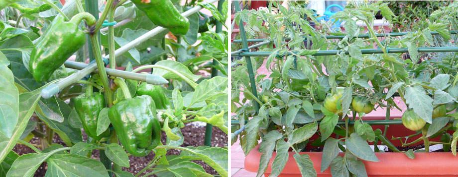 Pimientos y tomates en terraza
