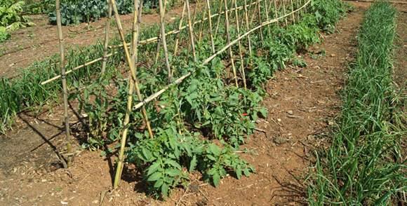Tutorado de tomates en caballete